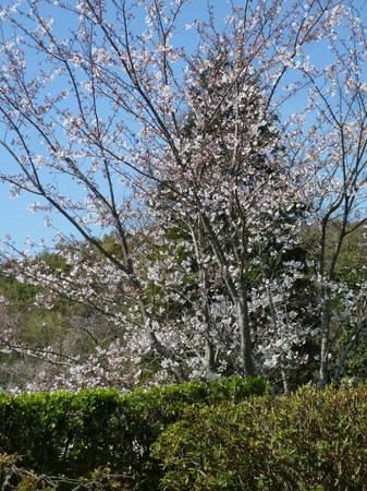 庭の桜全景.JPG